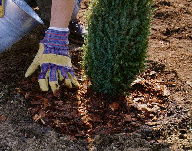 Какие кустарники и деревья можно сажать летом 84